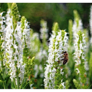 SALVIA hispanica / CHIA 'White seeded' - Boondie Seeds