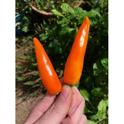 CHILLI 'Bulgarian Carrot' - Boondie Seeds
