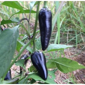 CHILLI 'Pot Black' - Boondie Seeds