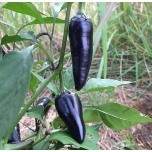 CHILLI 'Pot Black'