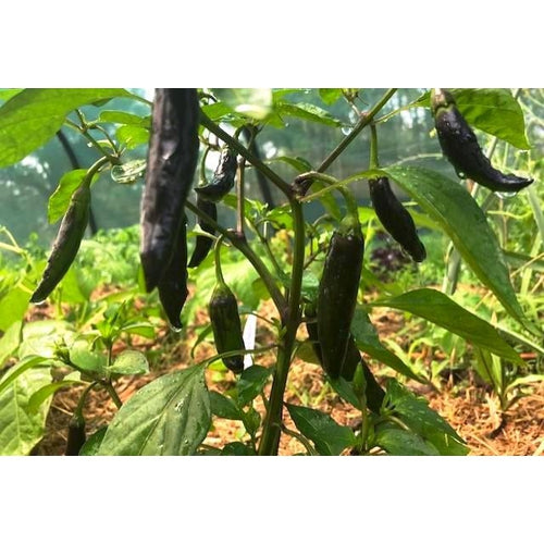 CHILLI 'Aji Black' - Boondie Seeds