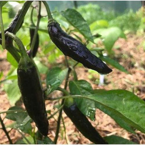 CHILLI 'Aji Black'