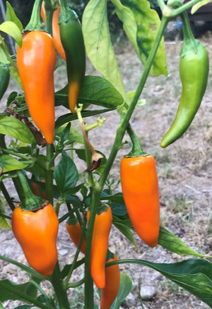 CHILLI 'Bulgarian Carrot' seeds