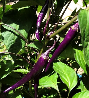 CHILLI 'Mulata Bueno' seeds
