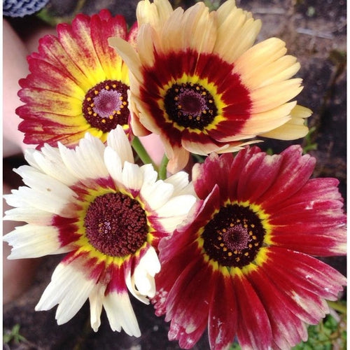 CHRYSANTHEMUM DAISY 'Rainbow Mix' - Boondie Seeds