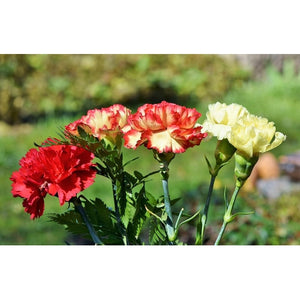 CARNATION 'Grenadin Mix'