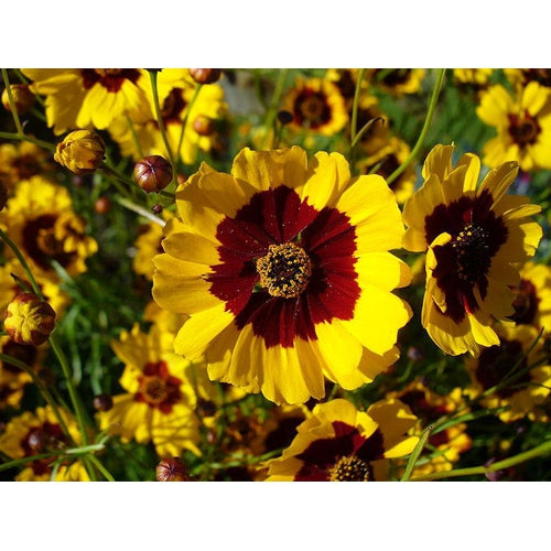 COREOPSIS 'Dwarf Radiata Mix'
