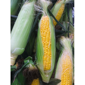 SWEET CORN 'Jolly Roger' - Boondie Seeds
