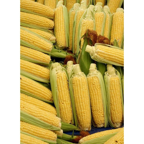 CORN 'Max' *Supersweet* - Boondie Seeds