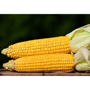 SWEET CORN 'Golden Bantam' *organic* - Boondie Seeds