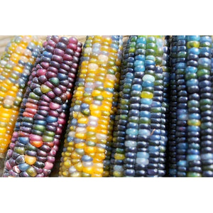 CORN 'Glass Gem' / Maize - Boondie Seeds
