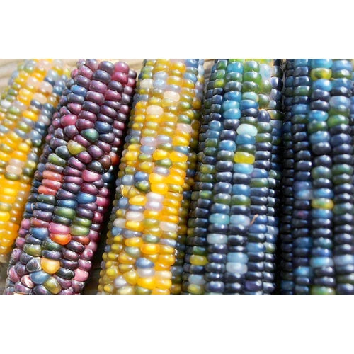 CORN 'Glass Gem' / Maize seeds