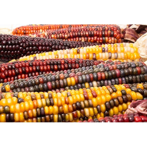 CORN 'Aztec Mix' - Boondie Seeds