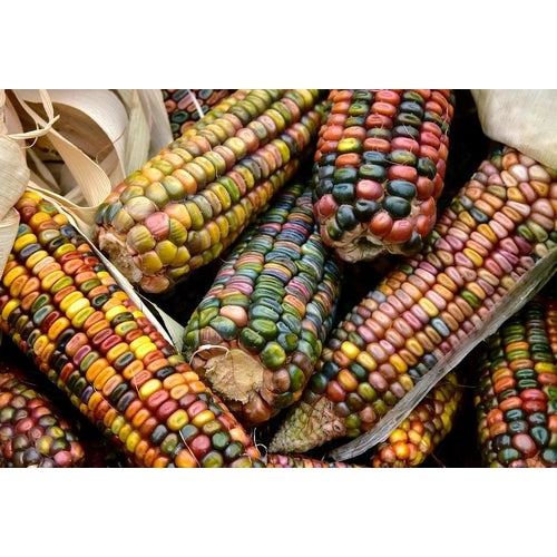 CORN 'Heirloom Mix' seeds