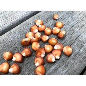 CORN 'Bronze Orange' - Boondie Seeds