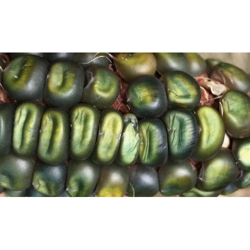 CORN 'Oaxacan Green' - Boondie Seeds