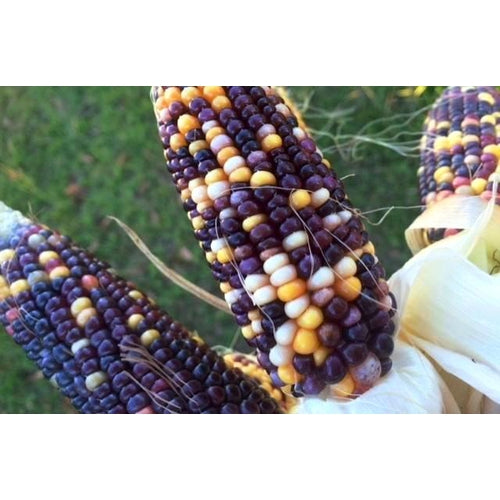 POPCORN 'Indian Berries' / Baby Corn