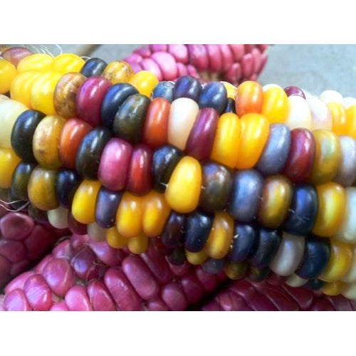 CORN 'Giant Indian Flint' *Rare* - Boondie Seeds