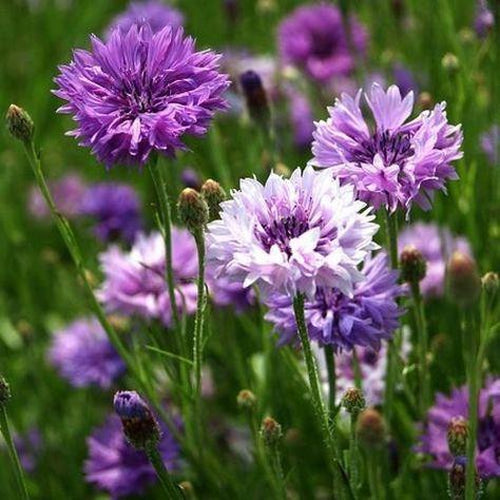 CORNFLOWER 'Mauve Ball' seeds