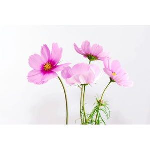 COSMOS 'Gloria' seeds