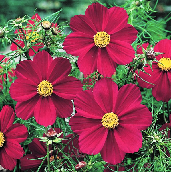COSMOS 'Versailles Red' seeds