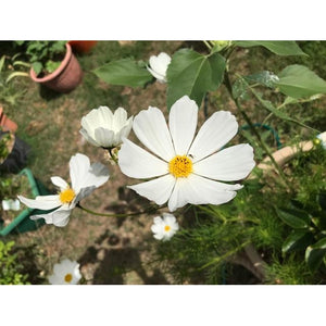 COSMOS 'Sensation Mixed' - Boondie Seeds