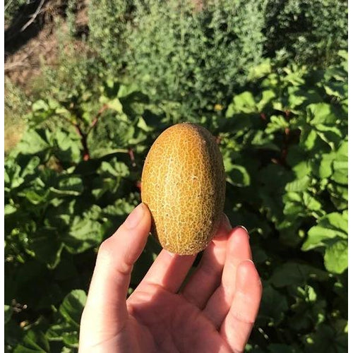 CUCUMBER 'Little Potato' / Sikkim - Boondie Seeds