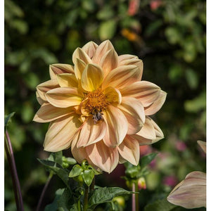 DAHLIA 'Unwins Mixed' seeds