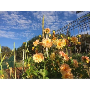 DAHLIA 'Unwins Mixed' - Boondie Seeds