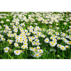 CHRYSANTHEMUM DAISY / Creeping Daisy 'Pure White' - Boondie Seeds