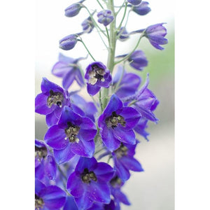 DELPHINIUM 'Pacific Black Knight' - Boondie Seeds