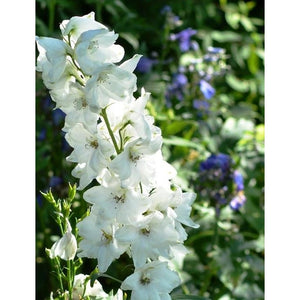 LARKSPUR  'White King'
