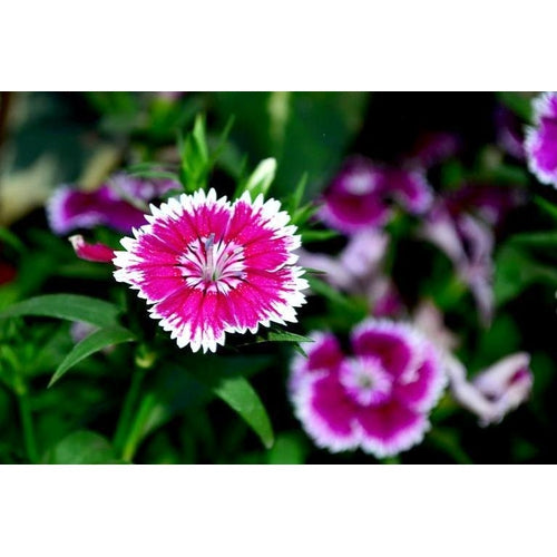 Sweet William / Dianthus / Pinks 'Single flowered Mix'