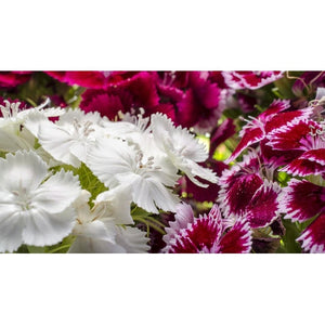 Sweet William / Dianthus 'Herald Of Spring'