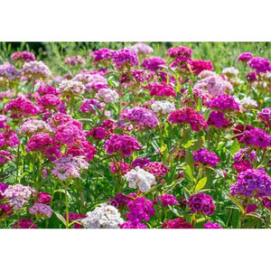 Sweet William / Dianthus 'Herald Of Spring' seeds