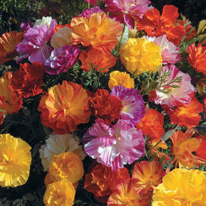 CALIFORNIAN POPPY 'Ballerina Double Mix' - Boondie Seeds