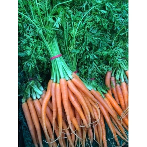 BABY CARROT 'Baby Pak' or 'Baby Amsterdam' - Boondie Seeds