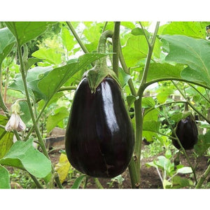 EGGPLANT 'Black Beauty' - Boondie Seeds