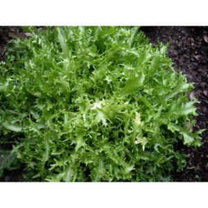 ESCAROLE / ENDIVE 'Green Curled' - Boondie Seeds