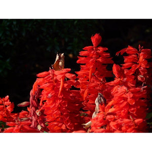 SALVIA 'Early Bonfire Red' - Boondie Seeds