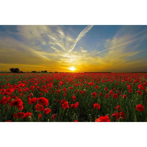 POPPY Flanders - Wholesale Gift Pack - Boondie Seeds