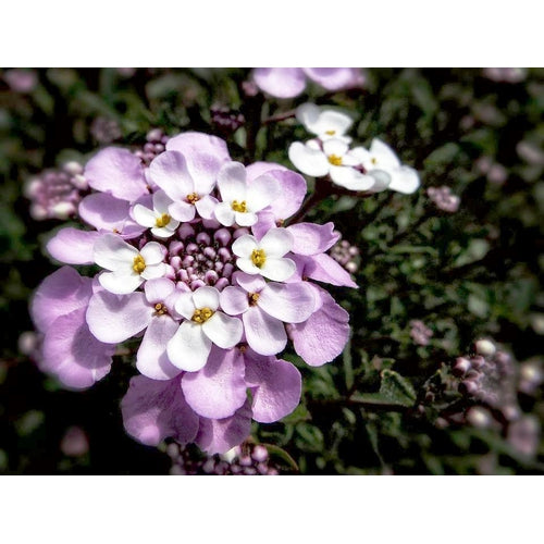 CANDYTUFT Dwarf Fairy Mix - Boondie Seeds