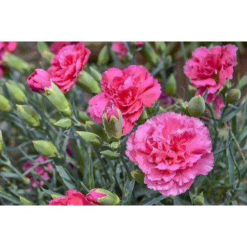 CARNATION 'Enfante de Nice Mix'