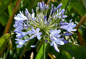 AGAPANTHUS - Baby Blue - PLANT