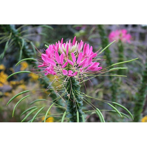 SPIDER FLOWER / CLEOME 'Fountain Mix' - Boondie Seeds