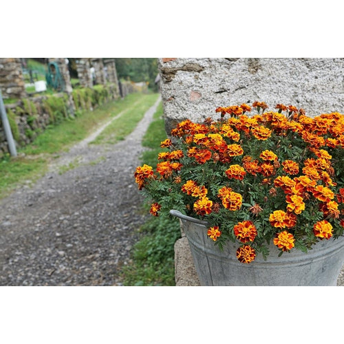 FRENCH MARIGOLD 'Sparky Mixed' seeds