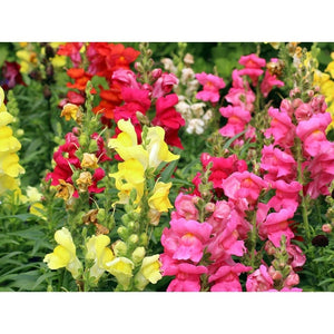 SNAPDRAGON 'Dwarf Tom Thumb Mix' - Boondie Seeds