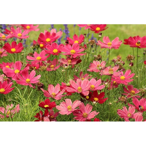 COSMOS 'Dazzler Red'