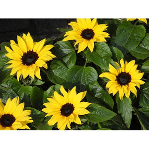 SUNFLOWER 'Sensation' Dwarf