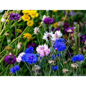 CORNFLOWER 'Double Ball Mix' seeds